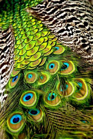녹색 - 갈색 무늬 꼬리와 공작의 뒷면