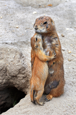 A small gopher kisses her mother after feeding