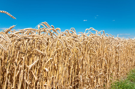 duo: Wheat field and blue sky with clouds