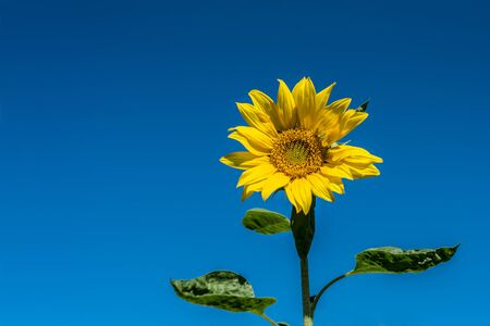 Sunflower and blue sky background Stock Photo