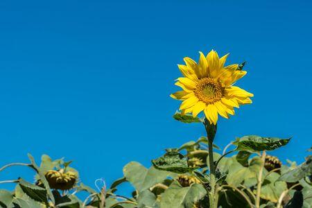 helianthus: Sunflower and blue sky background Stock Photo