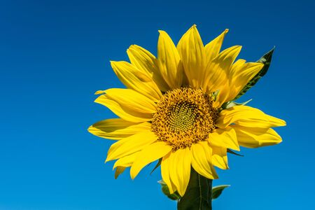 floret: Sunflower and blue sky background Stock Photo