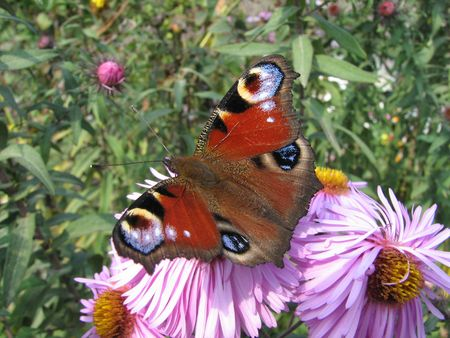 Butterfly on the pink flowers