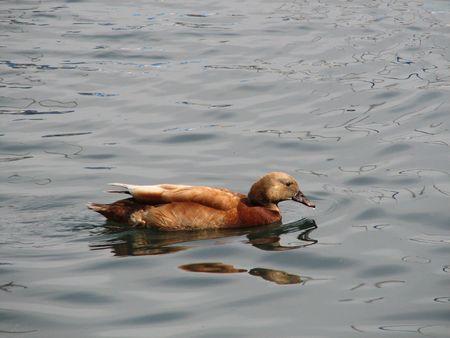 Young mallard in the Zurich lake