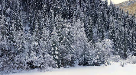 Snowcapped montains firs forest in valley of Black Cheremosh in ukranian Carpathian