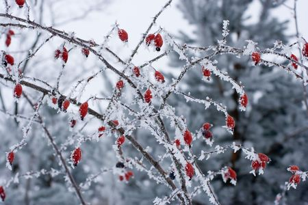 Frozen bush of dog-rose covered hoar-frost