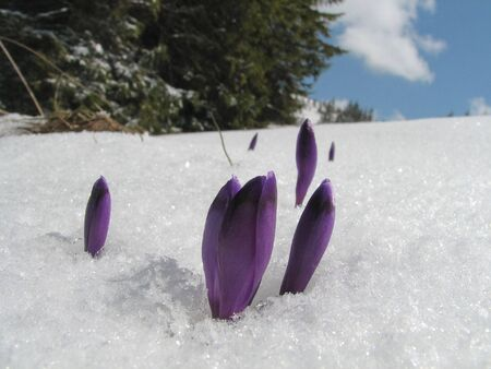 first mountains crocuses on a snows background