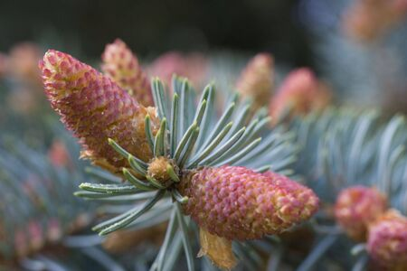 New strobile on the twig of fir-tree at spring Stock Photo