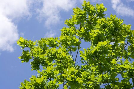 Green leaves of oak on blue sky background