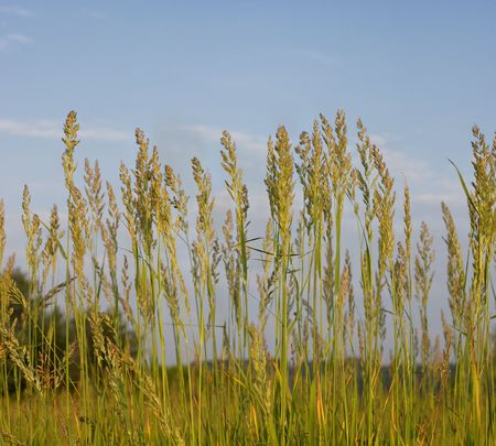 High grass on meadow in Chernigiv district of Ukraine at summers sunrises light