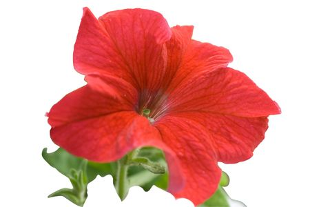 Flower of the red petunia isolated on white background. Focus on a pestle Stock Photo