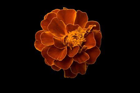 Head of flower of marigold on black background