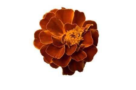 Head of marigold isolated on white background Stock Photo