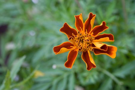 Flower of marigold on green foliage background photo