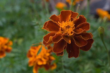Flowers of marigoldes on green foliage background. Shallow DOF Stock Photo