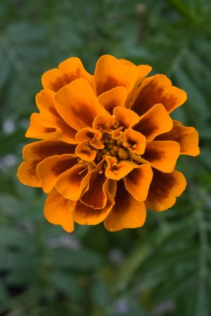 Flower of marigold on green foliage background