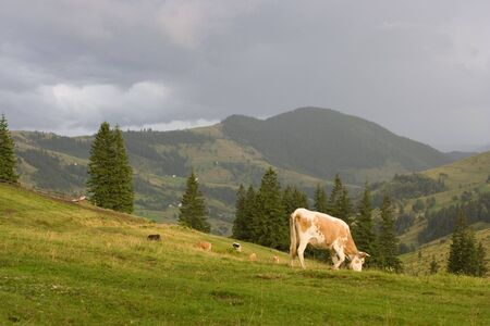 Cow on the montain pasture in ukrainian Carpathian Stock Photo