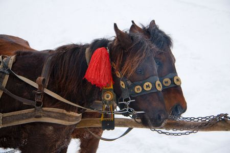 Two horses in a traditional Huzul harness against a snow slope