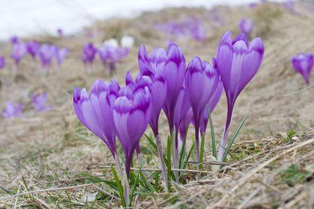 Blossom of crocuses on the Carpathian alps. Shallow DOF, fokus on front f;owers.