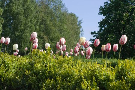 Multicolored tulips on green foliage and trees background. Shallow DOF - focus on tulips
