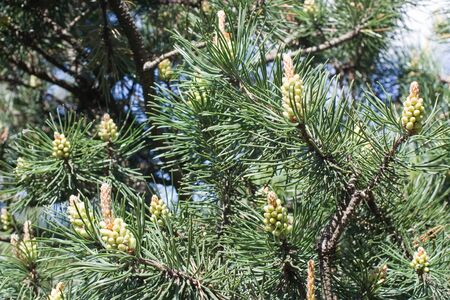 New green  strobile on the twig of fir-tree at spring Stock Photo - 4254836