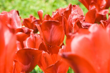 Close-up of red tulips in sunlight on green foliage background. Shallow DOF - focus on center point.
