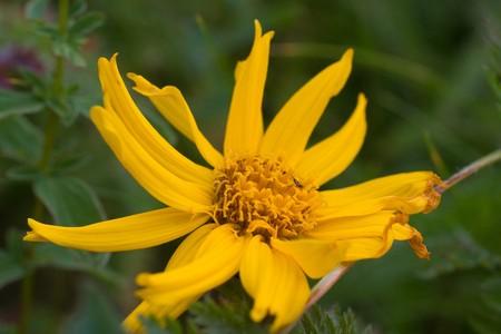 Flower of ukrainian Carpathian mountain photo