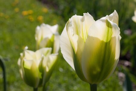 White tulips on green grass background. Focus on foreground