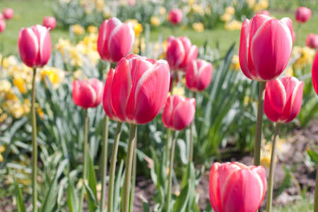 Tulips on green grass and yellow flowers background. Focus on foreground Stock Photo