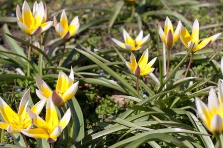 diminutive: Close-up of diminutive tulip Tarda Stock Photo
