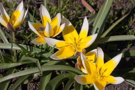 diminutive: Close-up of bee on diminutive tulip Tarda