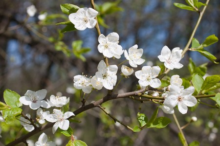 Close-up of blossom twig of apple