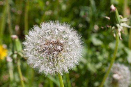 Close-up of dandelion on green grass background