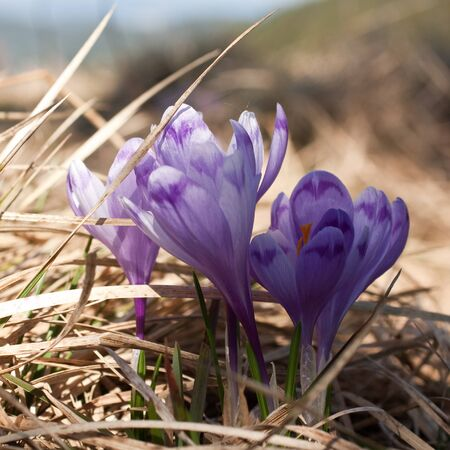 Close-up of crocuses in wildlife on dry grass and blue sky background in ukrainian Carpathian region. Focus on center of flowers