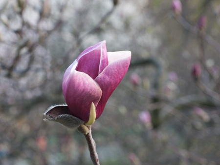 Close-up of flower of pink magnolia