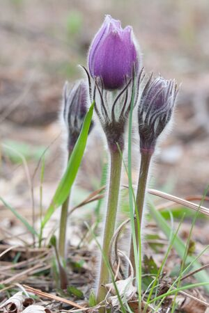 Close-up of pasqueflower in wildlife Stock Photo - 9543753