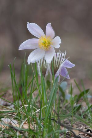 Close-up of pasqueflower in wildlife Stock Photo - 9543755