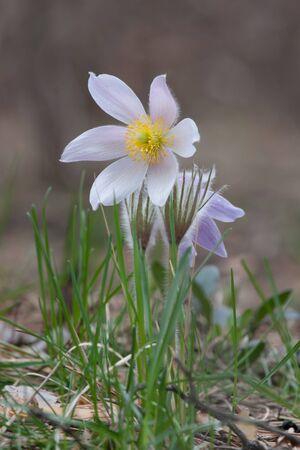 Close-up of pasqueflower in wildlife Stock Photo - 9543755