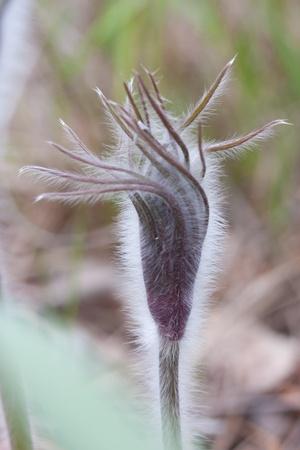 Close-up of pasqueflower in wildlife Stock Photo - 9543750