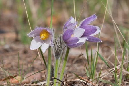 Close-up of pasqueflower in wildlife Stock Photo - 17171480