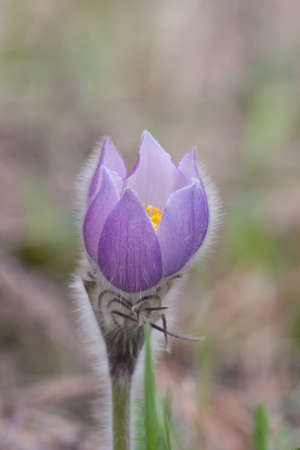Close-up of pasqueflower in wildlife Stock Photo - 17171479