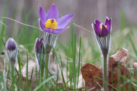 Close-up of pasqueflower in wildlife Stock Photo - 17171466