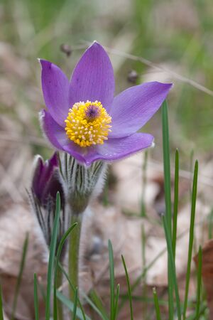Close-up of pasqueflower in wildlife Stock Photo - 17171474