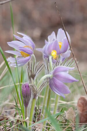 Close-up of pasqueflower in wildlife  Focus on front flower