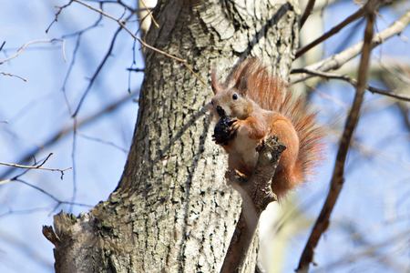 Brown squirrel on the tree