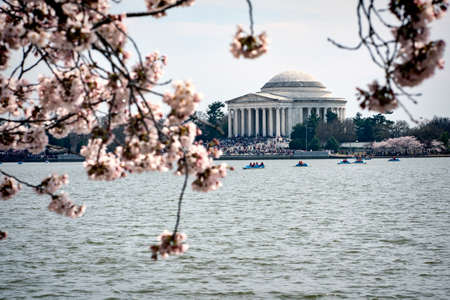 Cherry blossoms with the Jefferson Memorial in the background at Tidal Basin in Washington DC Éditoriale