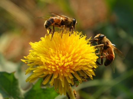 bees collect pollen from a dandelion, summer, nature photo