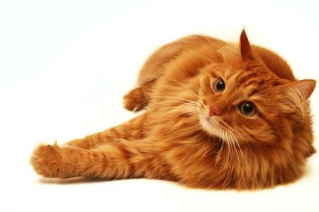 빨간 고양이는 멀리보고, 흰색 배경에 총을