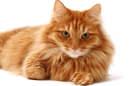 gato naranja: gato rojo dispar� sobre un fondo blanco, mirando a c�mara Foto de archivo