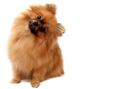 スピッツ犬、白い背景で撮影